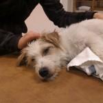 hund som får massage